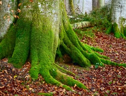 beautiful forest in Germany. Big old tree with moss on the bark. autumn season. wild nature background.