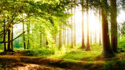Beautiful forest in spring with bright sunlight in the fog