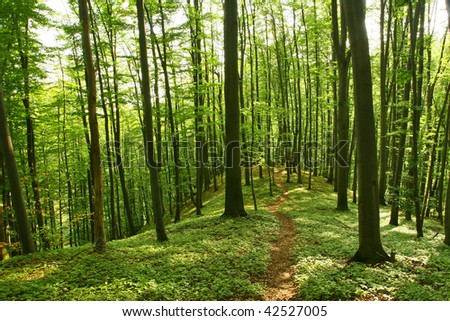 Beautiful forest pathway trough vertical beech summer trees