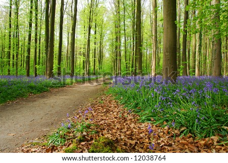 Beautiful forest with beech trees and blue wood hyacinths.