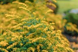 Beautiful forsythia flowers in the garden in spring. Golden Bell, Border Forsythia Forsythia x intermedia, europaea flowering garden bush. Ornamental bush with flowers in the garden.