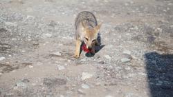 Beautiful Fox Squeals eating peach
