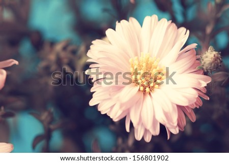 beautiful fragile pale pink aster close up
