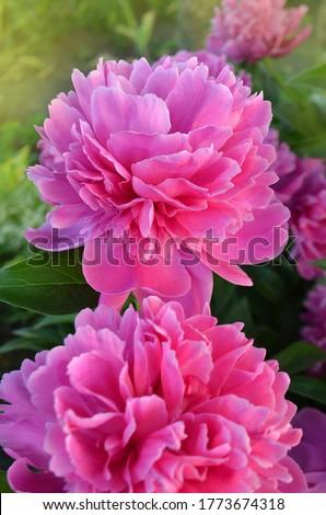 Beautiful fragrant peonies flowers. Pink color peonies flower. Pink peony flowers in garden.