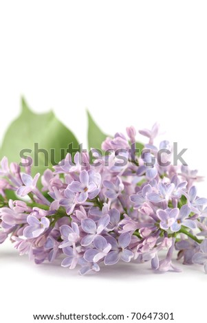 Beautiful fragrant purple-blue lilac isolated on white background