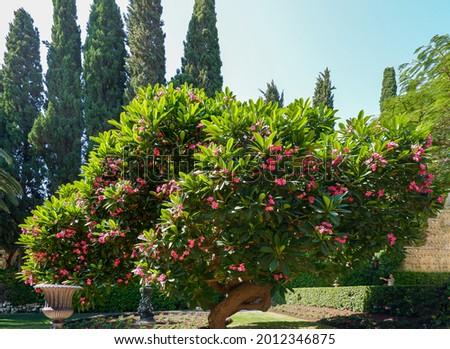 beautiful frangipani tree at Bahai Gardens around the Shrine of the Báb on Mount Carmel in Haifa, Israel Stock fotó ©