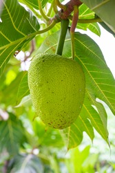 Beautiful Fresh breadfruit ( Artocarpus altilis ) hanking with green leaves in garden outdoor. plant for food or home decoration, Asian herbaceous tree. young green breadfruit with sunlight background