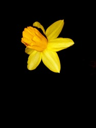 beautiful, fresh, bright yellow daffodil flower on a black background