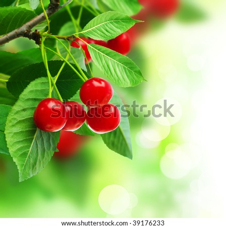 Beautiful Fresh Cherries on Branch