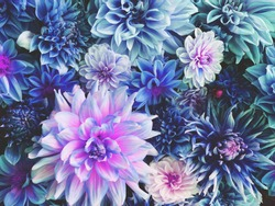 Beautiful fresh colorful blue, white and purple dahlia flowers in full bloom. Spring blossoms. Flowery summer texture for background. Saturated blue color.