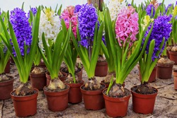 Beautiful fresh colorful hyacinth flowers