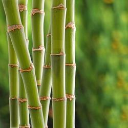 Beautiful fresh green bamboo background