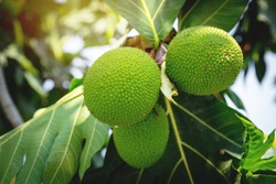 beautiful Fresh green breadfruit ( Artocarpus altilis ) hanking with green leaves in the garden outdoor with sunlight. plants for food or home decoration, Asian herbaceous plants