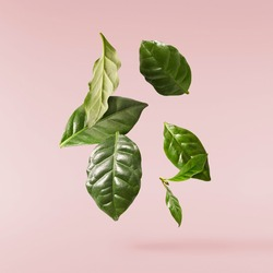 beautiful fresh green coffee leaves falling in the air isolated on pink background
