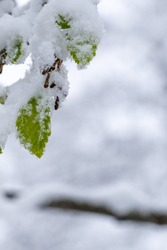 beautiful fresh, green leaves blossoming on a tree covered in snow on dark brown branches in early spring on a cold day. Vertical image of flowers, no people, floral abstract pattern