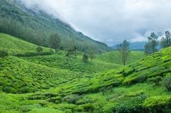 Beautiful fresh green tea plantation or estate in Munnar, Kerala, India. Cultivation on mountains. fresh tender tea leafs misty morning farm Indian masala chai.