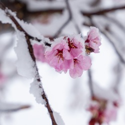 beautiful fresh, pink and white cherry blossoms covered in snow on dark brown branches in bloom in early spring on a cold day. Square image of flowers, no people, floral abstract pattern