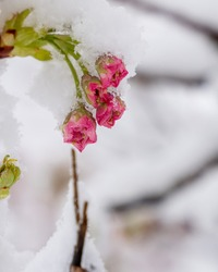 beautiful fresh, pink and white cherry blossoms covered in snow on dark brown branches in bloom in early spring on a cold day. Vertical image of flowers, no people, floral abstract pattern