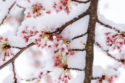 beautiful fresh, pink and white cherry blossoms covered in snow on dark brown branches in bloom in early spring on a cold day. Horizontal image of flowers, no people, floral abstract pattern