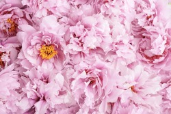 Beautiful fresh pink peony flowers in full bloom, close up, top view. Floral spring summer texture for background. Mother's day, Birthday, Valentine's day card. Blooming peonies.