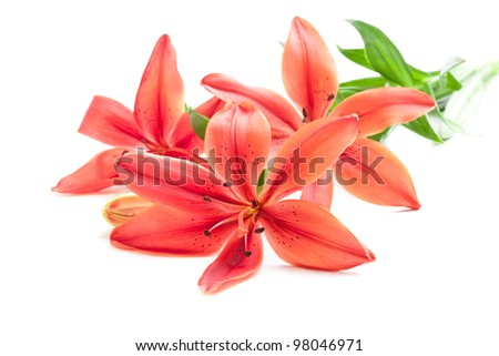 Beautiful fresh pink/red lily flowers, isolated on white - stock photo