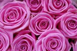 beautiful fresh pink roses and rosebuds