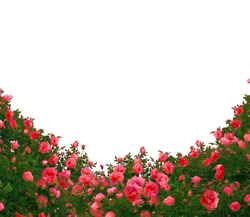 Beautiful fresh red roses bush isolated on white background.Natural red roses background
