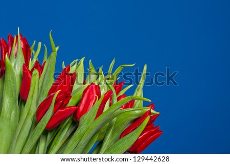 beautiful fresh red tulips on a blue background