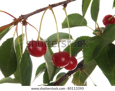 Beautiful Fresh Sour Cherries on Branch isolated on white background