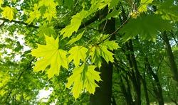 Beautiful fresh spring leaves of maple tree