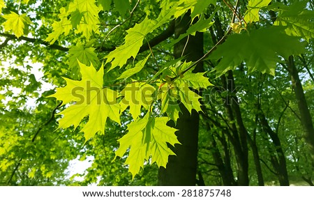 Stock Photo Beautiful fresh spring leaves of maple tree