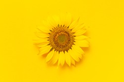 Beautiful fresh sunflower on bright yellow background. Flat lay, top view, copy space. Autumn or summer Concept, harvest time, agriculture. Sunflower natural background. Flower card