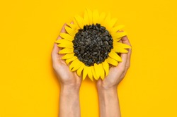 Beautiful fresh sunflower with sunflower seeds in female hands on yellow background Flat lay top view copy space. Harvest time agriculture farming. Healthy oils, food. Sunflower natural background