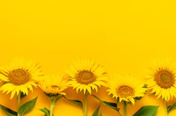 Beautiful fresh sunflowers with leaves on stalk on bright yellow background. Flat lay, top view, copy space. Autumn or summer Concept, harvest time, agriculture. Sunflower natural background.