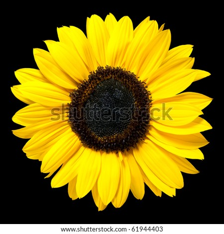 Beautiful Fresh Yellow Sunflower Flower. Closeup on Petals Isolated on Black Background
