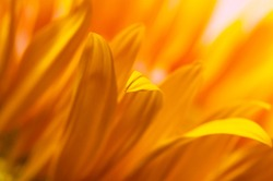 Beautiful fresh yellow sunflower macro shooting. Sunflower blooming Close-up. Sunflower natural background. Flower card, wallpaper. Harvest time, agriculture, farming. Yellow flower petals, seeds