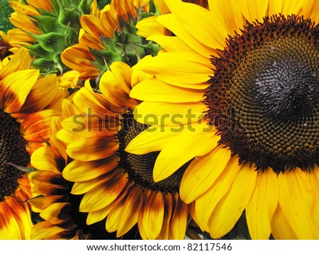 Beautiful fresh yellow Sunflower with petals closeup.