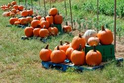 Beautiful freshly harvested Jack O lantern pumpkins On wood platform in farm