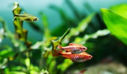 Beautiful freshwater aquarium tank with Cherry barb and Silver Tipped Tetra fishes. green plants background.