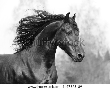 Beautiful Friesian horse action portrait in forest Foto stock ©