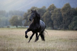 beautiful Frisian horse black stallion running through meadow absolutely stunning