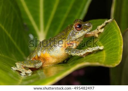 Beautiful Frog, Frog , Tree Frog, Tree frog of Borneo, Tree frog on leaf , Frog of Borneo , Frog with isolated black background , Masked Tree Frog (Rhacophorus Angulirostris)
