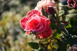 Beautiful Frozen Pink Rose In The Garden, Sunlight And Frost At A Autumn November Day.