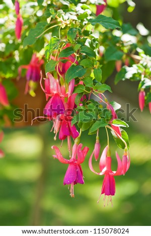 Beautiful fuchsia flowers hanging from the pot. Shallow DOF