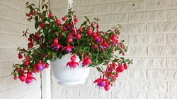 Beautiful Fuchsia flowers in pot. Theflowersare very decorative; they have a pendulous teardrop shape. They have four long, slender sepals and four shorter, broader petals.