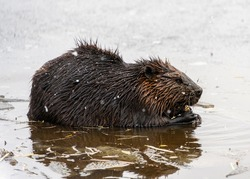 Beautiful full grown brown furred beaver in the snowfall. Winter picture, with ice and snow. This animal is chewing and eating in the half frozen lake.