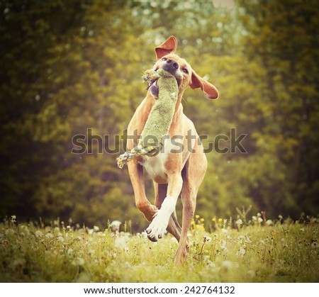 beautiful funny rhodesian ridgeback pointer magyar viszla puppdy dog hunting and running in autumn nature #242764132