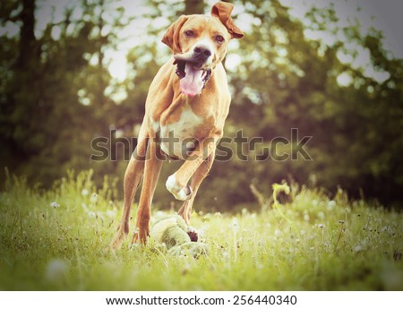 beautiful funny rhodesian ridgeback pointer magyar viszla puppdy dog hunting and running in autumn nature #256440340