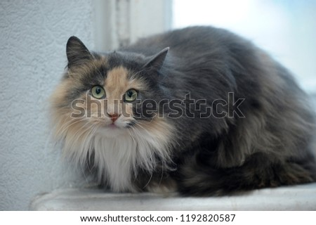 beautiful furry Siberian three-colored cat portrait #1192820587