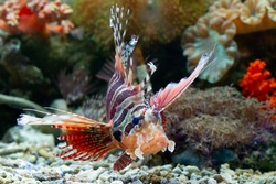 Beautiful Fuzzy dwarf lionfish on the coral reefs, Fuzzy dwarf lionfish closeup